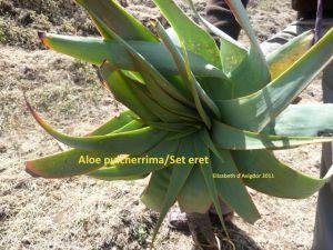 Aloe pulcherrima 3