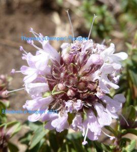 Thymus schimperi 2